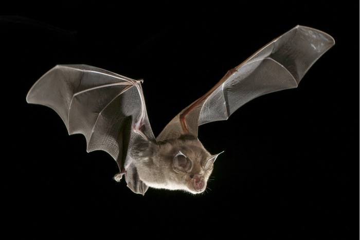 A horseshoe bat – the kind that may well have acted as a reservoir host for Sars-Cov-2 before it crossed into humans