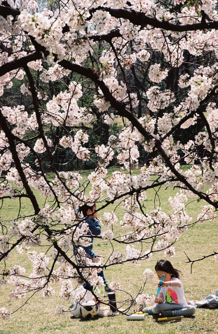 Children play under the cherry blossoms in Kinuta Park, Tokyo
