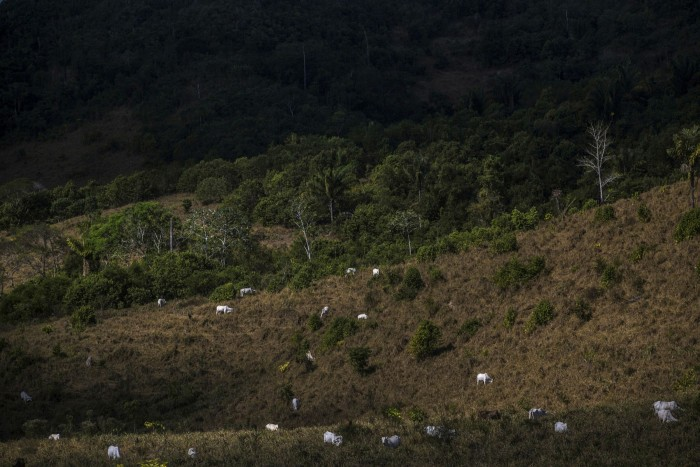 Cattle graze at the Jamanxim National Forest in Pará