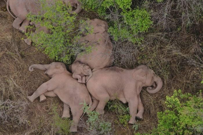 Wild Asian elephants rest near Kunming, China