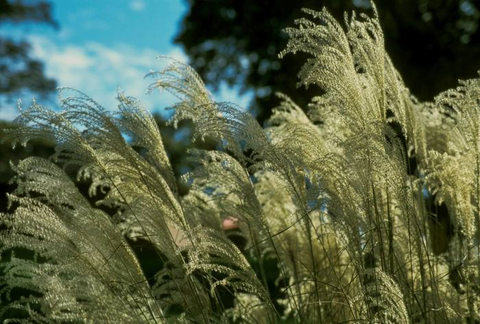 Miscanthus sinensis inflorescence, or silver grass