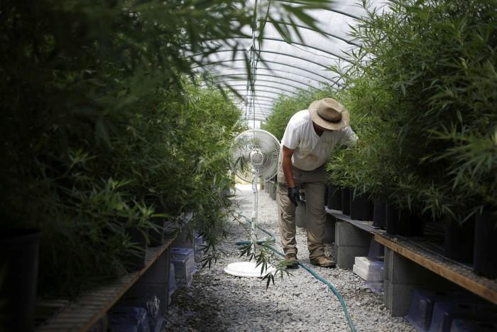 A farmer inspects hemp plants growing in a greenhouse