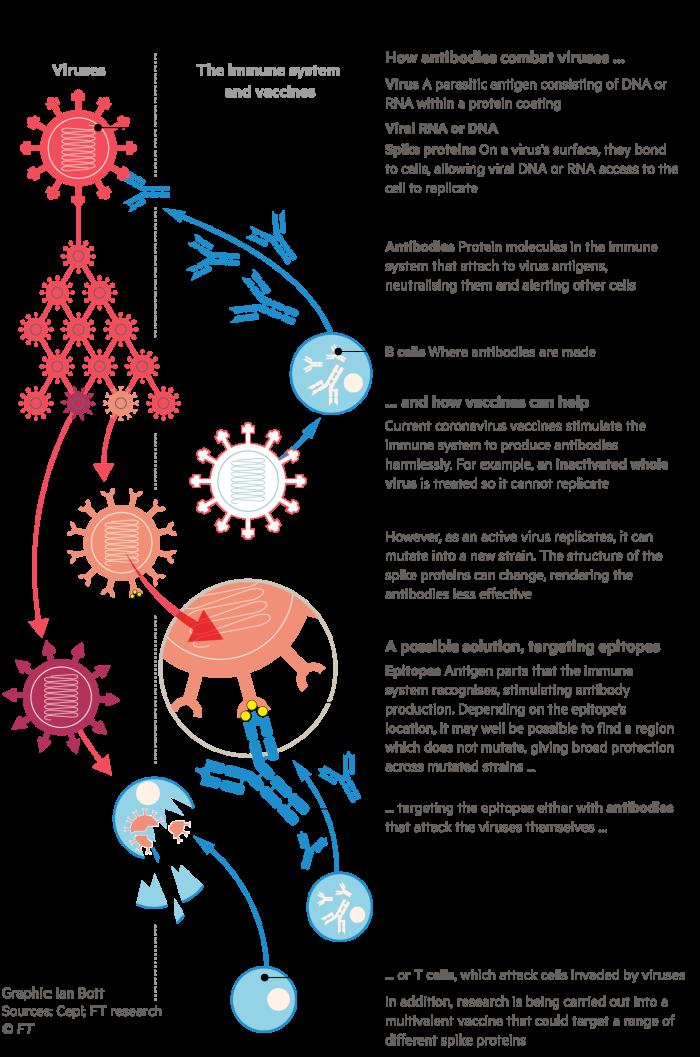 Infographic explaining how epitopes are key to multivalent coronavirus vaccines