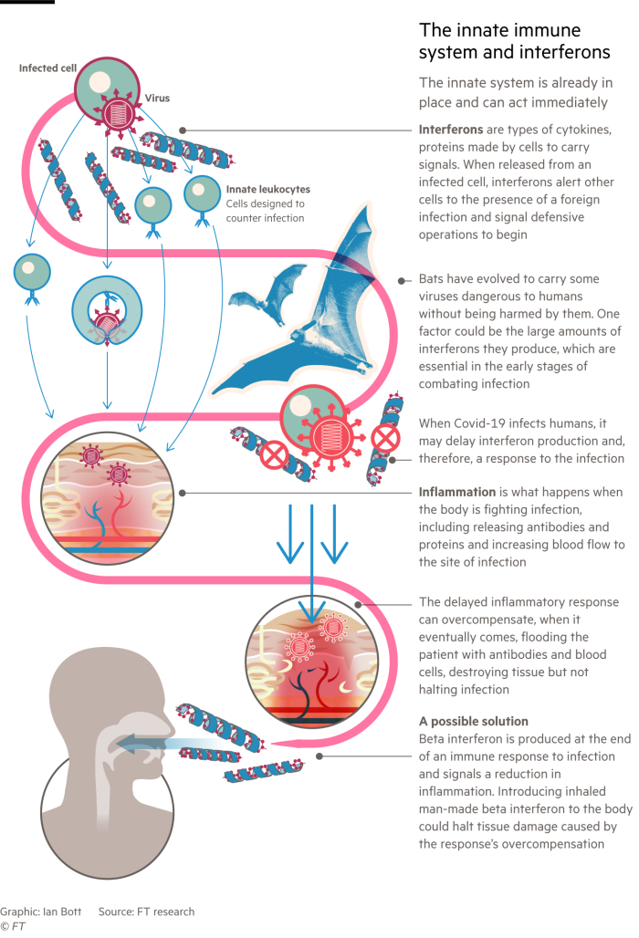 Infographic looking at the role of interferons in the innate immune system and how Covid-19 disrupts them
