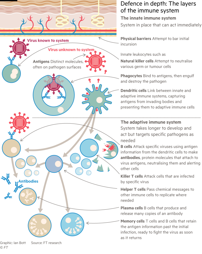 Information graphic showing the layers of defences that battle infections in the human immune system
