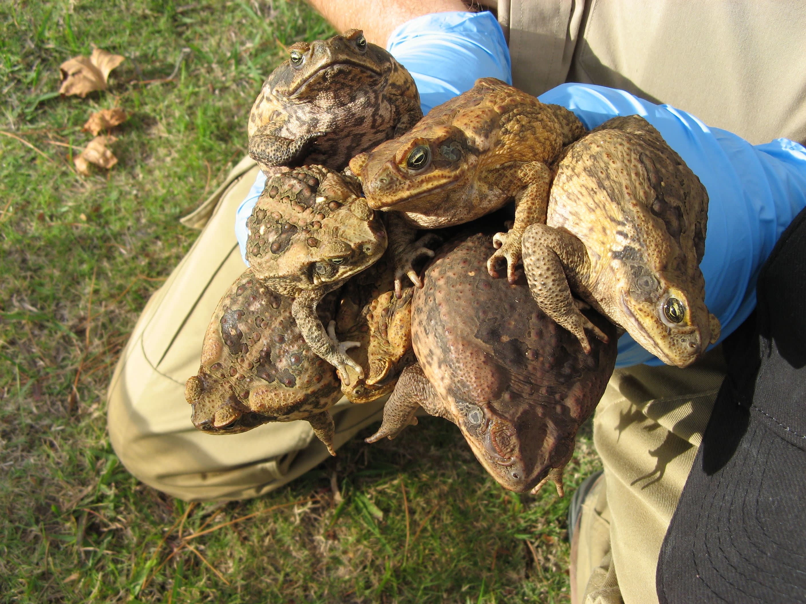 754b23967cee7 Australia steps up battle against toxic cane toads - Nikkei Asian Review