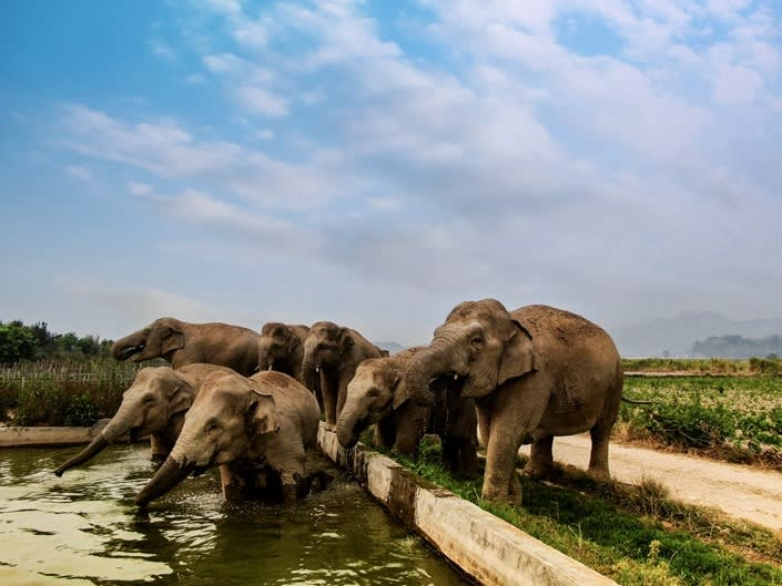 A herd of elephants crosses a rural road in Xishuangbanna on April 7.