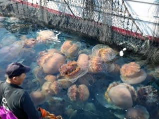 World Worries As Jellyfish Swarms Swell Nikkei Asian Review