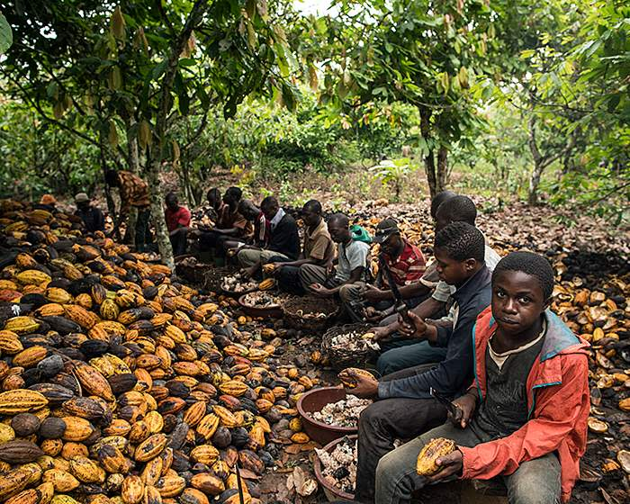 Out of school: boys sit alongside men at work on cocoa pods in Ivory Coast