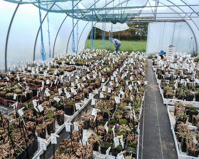 Greenhouse breeding of Taraxacum kok-saghyz (Luke Sharrett\/Bloomberg)