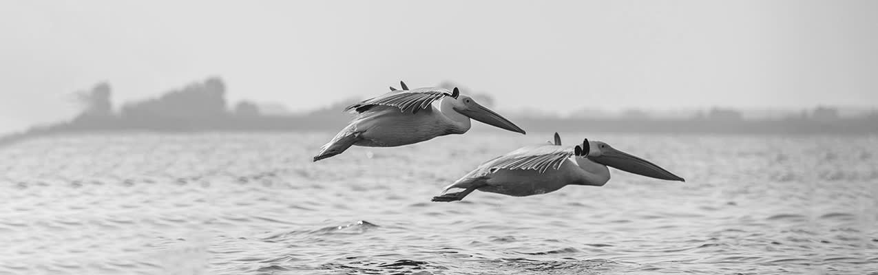 Pelicans flying across the sea