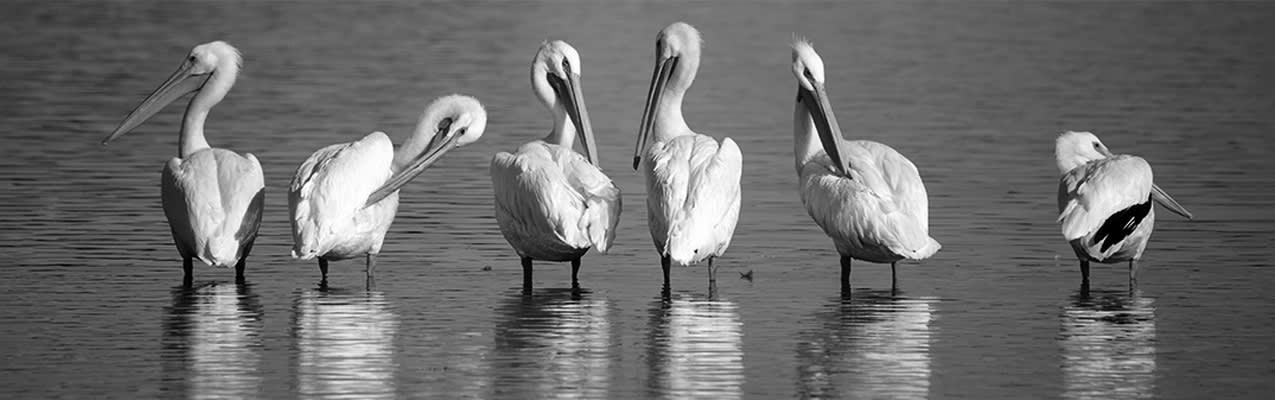 6 Pelicans standing in a line