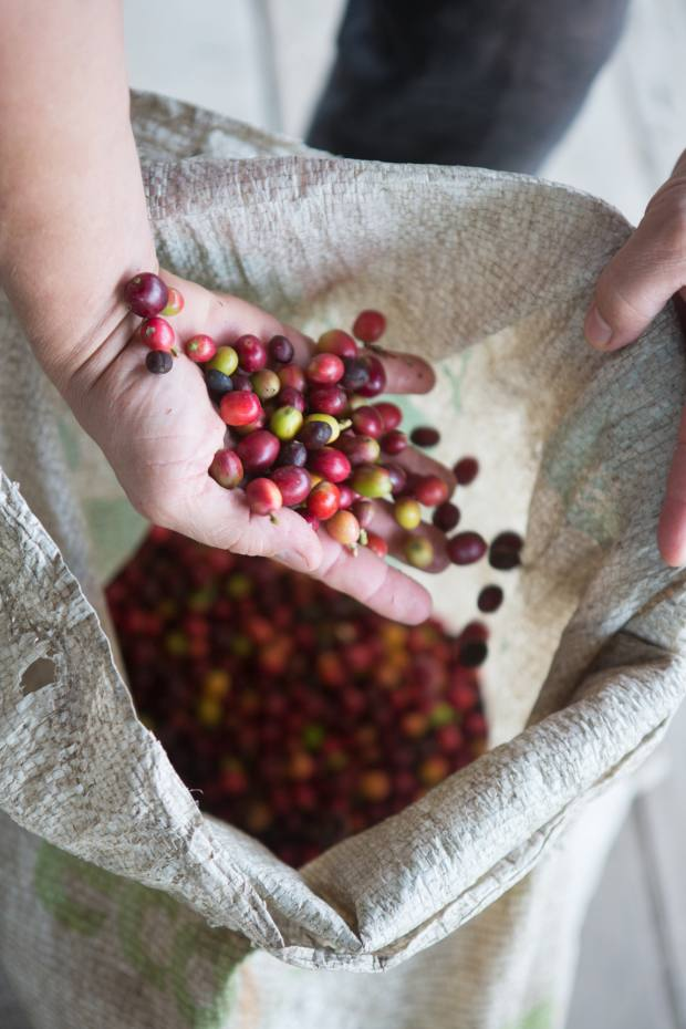 Devoción coffee beans are dry-milled in Bogotá before being shipped at just 10-30 days old