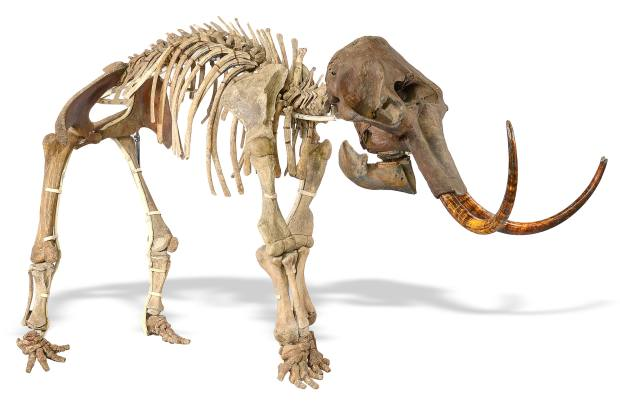 Skeleton of an adolescent female mammoth, £50,000 to £80,000