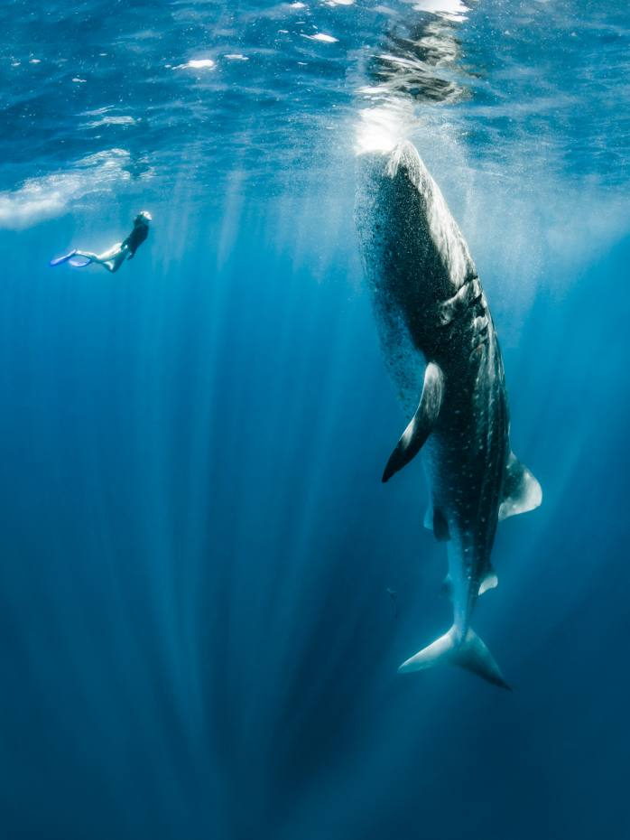 Freediving with whale sharks offthe northeastern tip of the Yucatán Peninsula