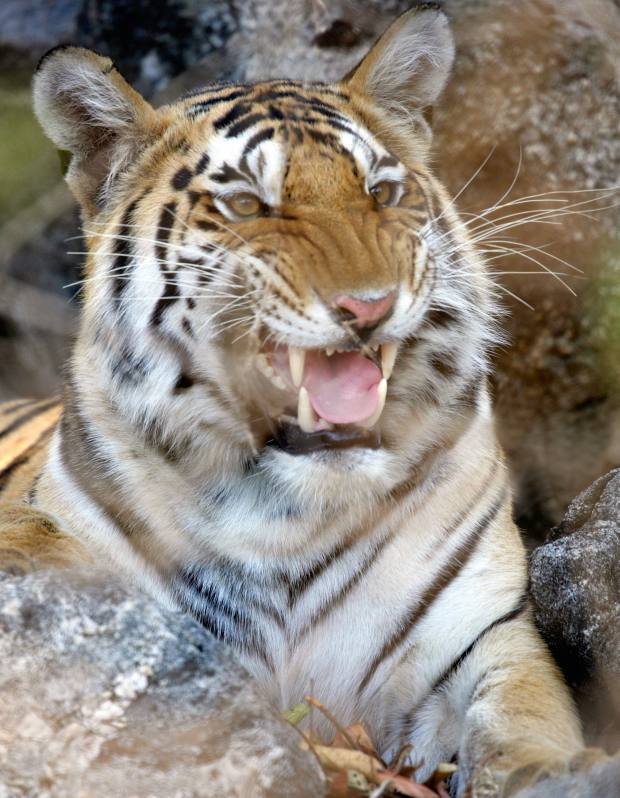 A tiger in Pench National Park