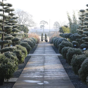 Ornamental coniferous Cupressus arizonica niwaki trees – available at the Architectural Plants nursery in West Sussex – are a dramatic choice for a sizeable garden