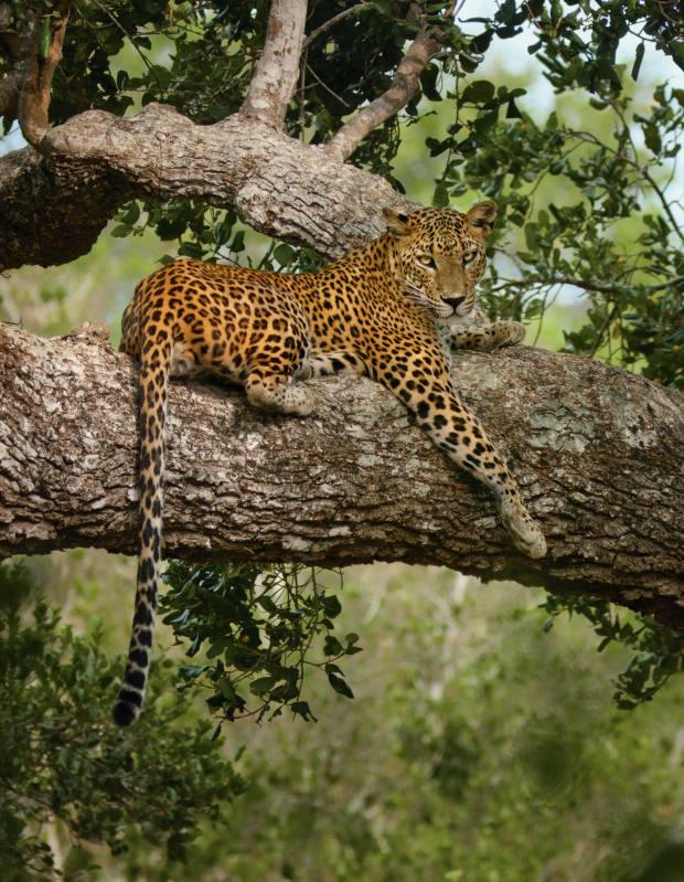 A leopard in Yala National Park