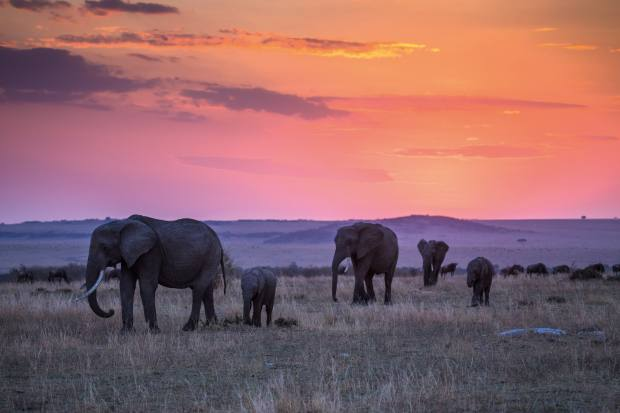 Elephants at Great Plains Conservation's Mara Expedition Camp