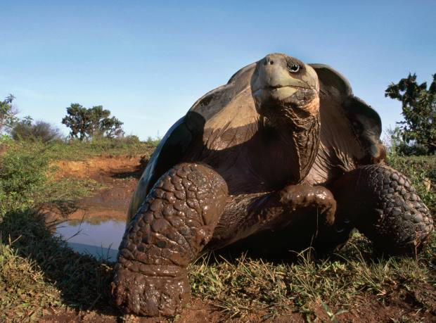 A giant tortoise at mud wallow on Isabela Island