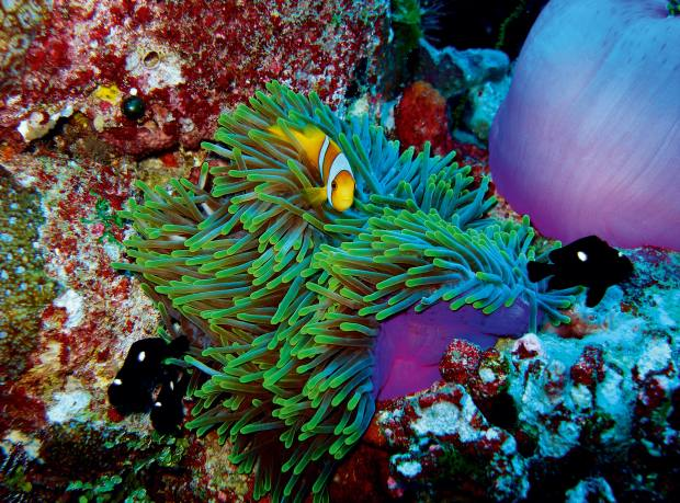 A clownfish that lives in the coral reefs around Chagos