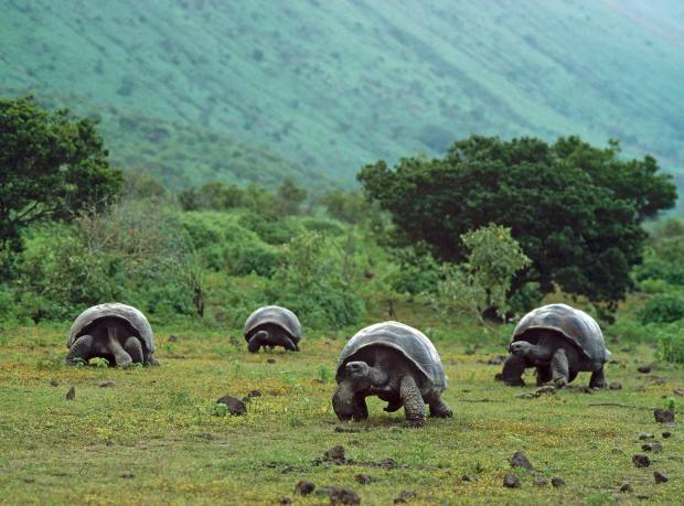 The giant tortoises after which the islands are named