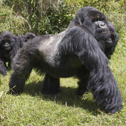 An alpha-male silverback Muhoza gorilla and his 12-strong group