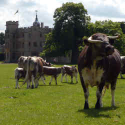Magnificent British Longhorn cattle grace the stately parkland of Rousham House in Oxfordshire.