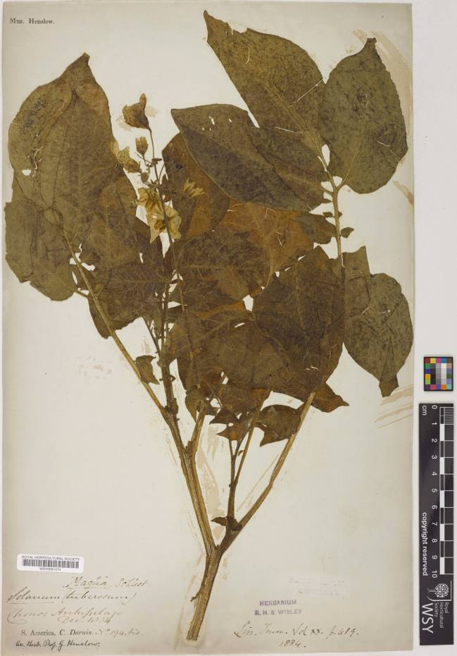 The RHS herbarium's specimen of the Chilean potato plant collected in 1834 by Charles Darwin