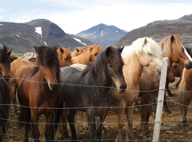 The small but tough Icelandic horses take a breather in a corral.