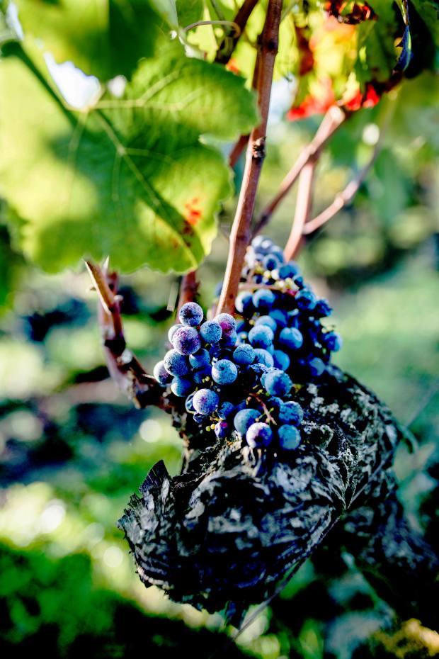 Merlot vines at Château Teyssier
