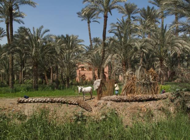 Palms in the Nile Delta.