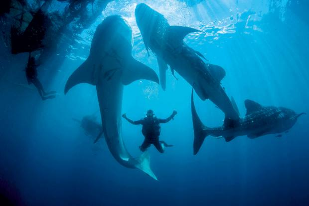 Adventure consultant Jason Friedman – who advised on the Kudanil's refit – diving with whale sharks