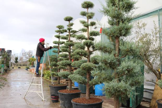 Architectural Plants is renowned for its Japanese-inspired cloud-pruned trees