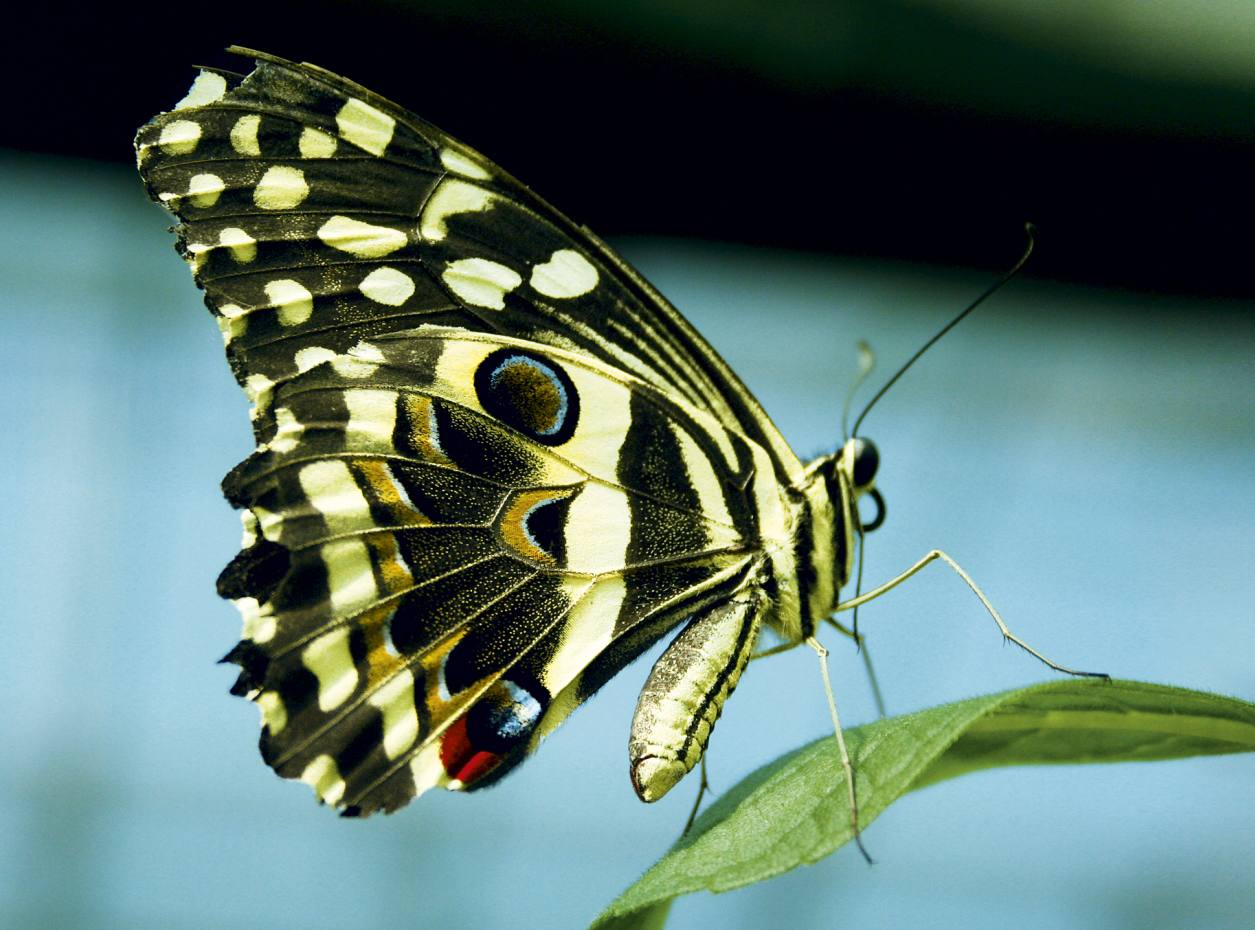 A Citrus Swallowtail shows its true colours in a butterfly house.