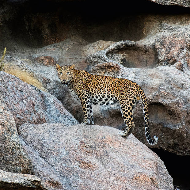 A male leopard at one of the caves in Jawai, Rajasthan
