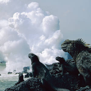 Marine iguanas in the western Galápagos