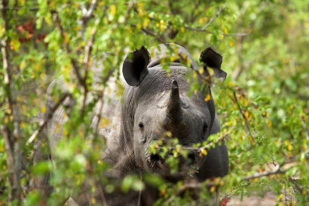A black rhino in Liwonde