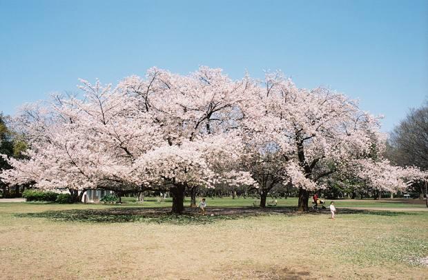 Blossoms in Kinuta Park, Tokyo