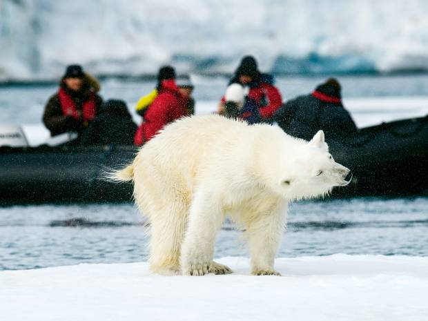 Wildlife watching is key to Pelorus expeditions, with the chance to see polar bears in the Norwegian archipelago of Svalbard
