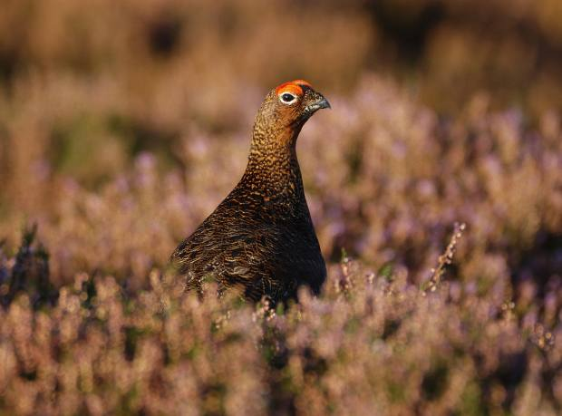A red grouse in the heather