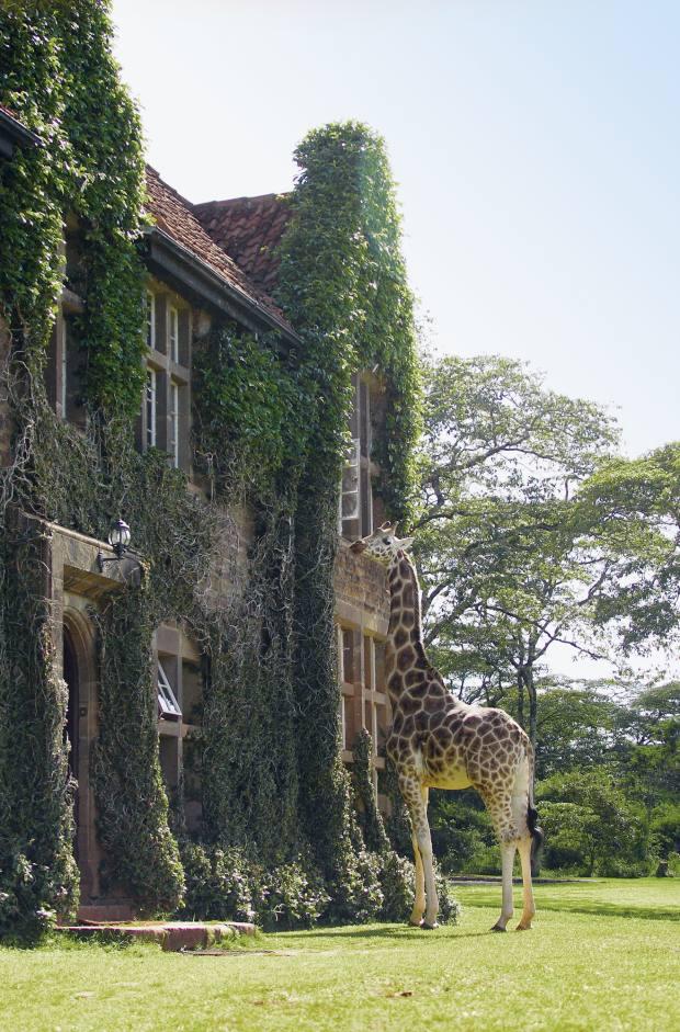 A rare Rothschild giraffe at Giraffe Manor near Nairobi.