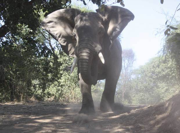 A bull elephant charges the group's jeep