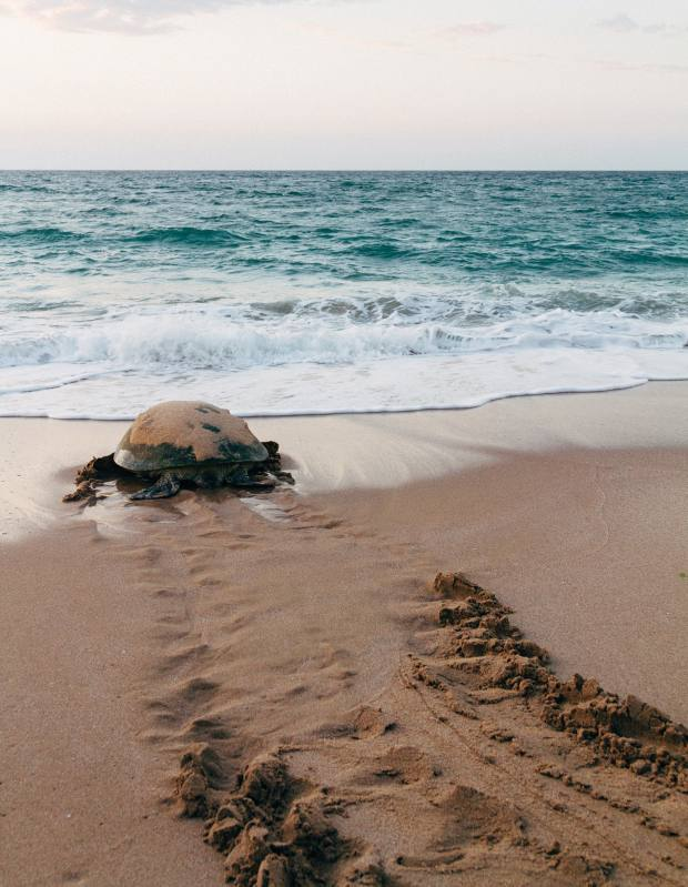 A green turtle returns to the sea