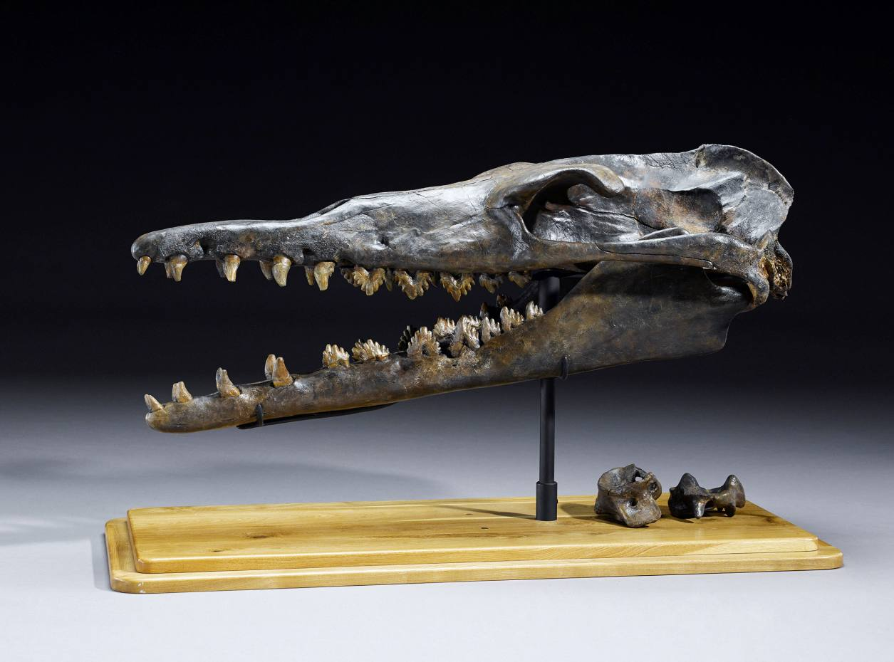 Prehistoric whale skull, sold for $77,500 at Bonhams