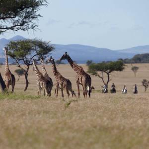 Singita Grumeti guests watch on horseback as giraffe browse unconcernedly nearby