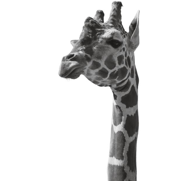 """It costs just £20 to adopt a giraffe – nowclassified as a """"vulnerable"""" species – through ZSL"""
