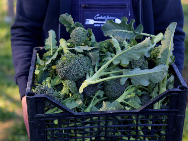 Broccoli grown as part of Cook the Farm