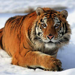 A Siberian tiger in the Russian Far East.