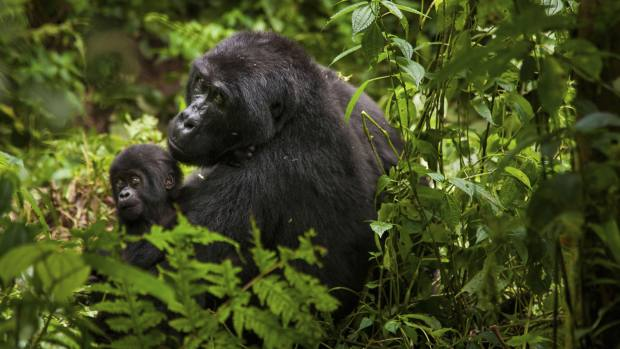 Specialist guides will help guests to catch a glimpse of mountain gorillas in Rwanda